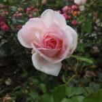 Rosendåb i Mariager