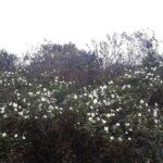 Rosa spinosissima i oktober.