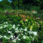 Sunde roser giver glæde og liv