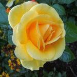 Årets rose 2021
