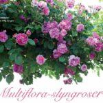 Multiflora-slyngroser