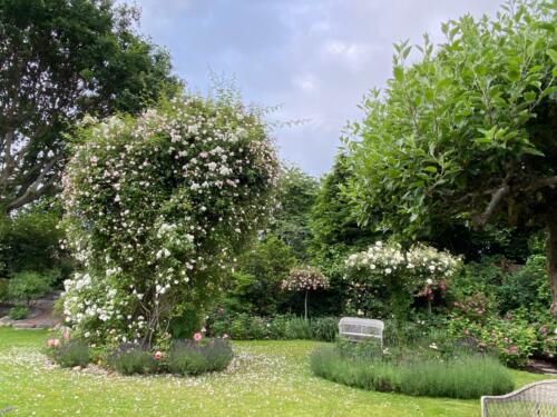 I højre side ses 'Alberic Barbier' som rosentræ på 2 m. stamme. Bagerst er det  'Paul Noel' og' Alexander Gireault'.